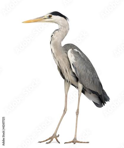 Tablou Canvas Grey Heron standing, Ardea Cinerea, 5 years old