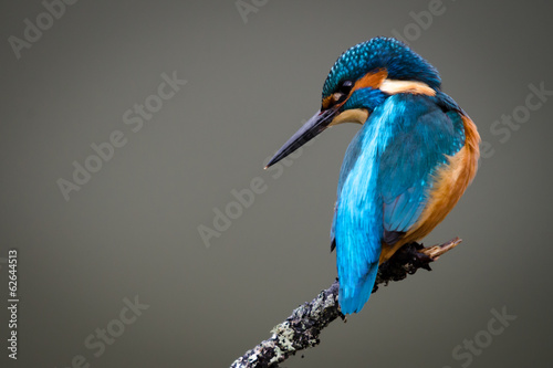 Photo UK Wild Kingfisher