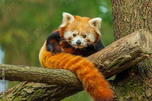 Fototapeta červená panda