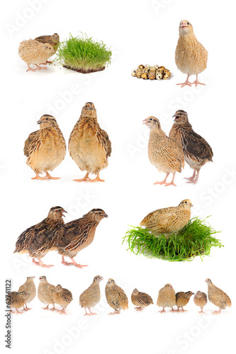 quail Fototapeta
