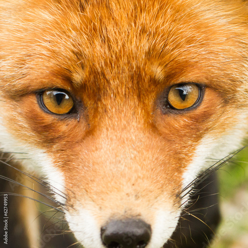 Canvas Print red fox close up