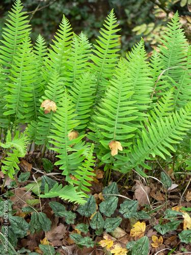 felce polypodium vulgare