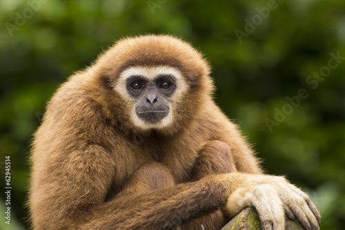 Valokuva White handed gibbon eye contact