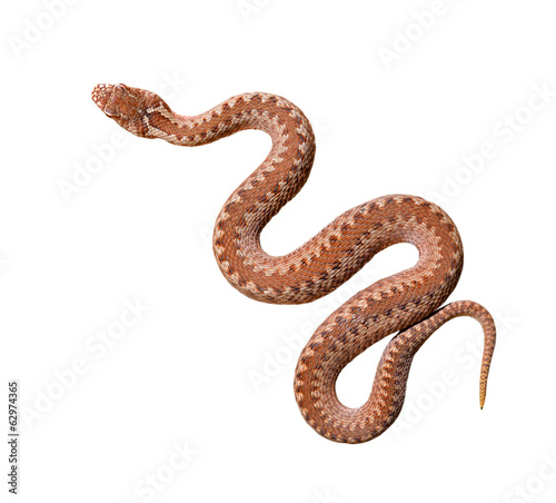 Brown common viper snake isolated on white background, skin texture close-up. Wildlife, reptile, biology, zoology, herpetology, environmental conservation, science, education, graphic resources