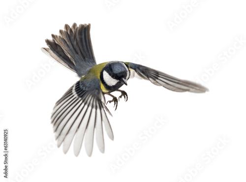 Fototapeta premium great tit flying - Parus major