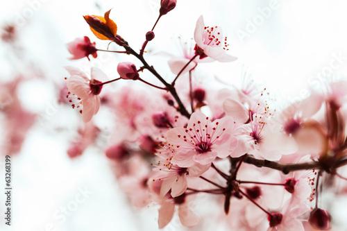 Obraz na płótnie almond tree  branch
