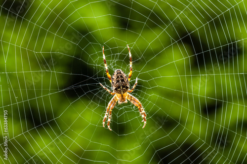 Kreuzspinne im Netz