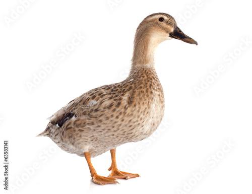 female duck Fototapeta