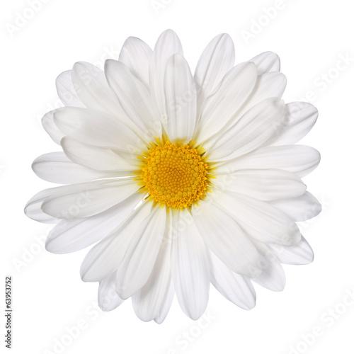 Fotografie, Obraz Heřmánek květiny na bílém. Sedmikráska. makro