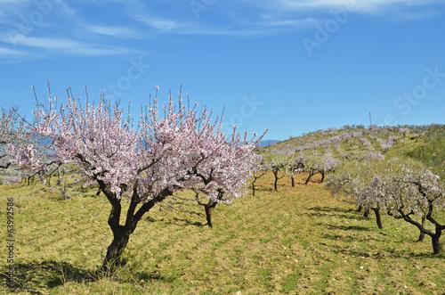 Obraz na płótnie Field of almond blossoms