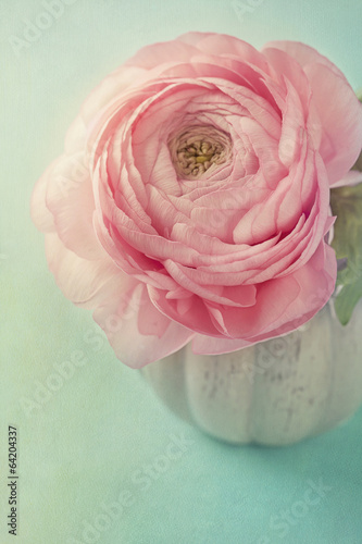 Canvas Print Pink ranunculus