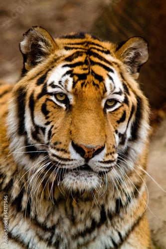 Fototapeta Tiger