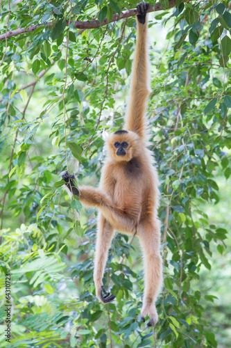 Valokuva White Cheeked Gibbon or Lar Gibbon