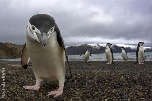 Canvas Print Antarctiic penguin