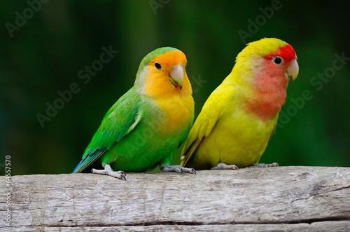Lovebird #64557570