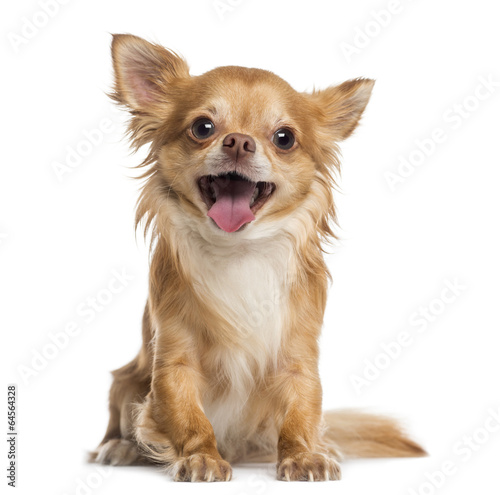 Canvas Print Happy Chihuahua (4 years old)