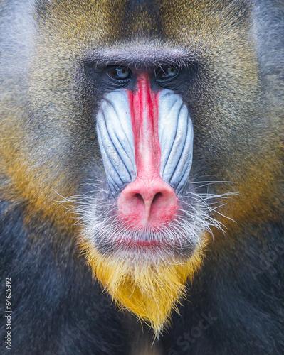 Fotografia Portrait of the adult mandrill