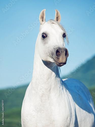 portrait of white beautiful arabian stallion #64714777