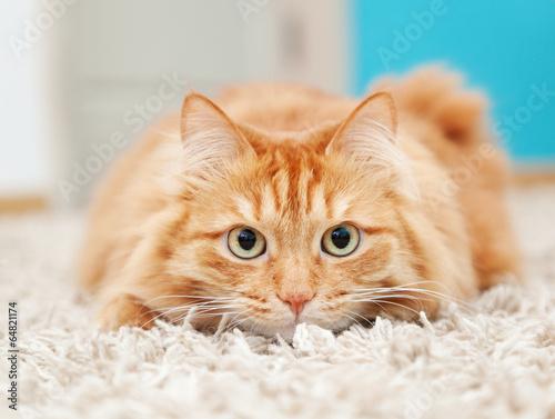 Fotografija funny fluffy ginger cat lying