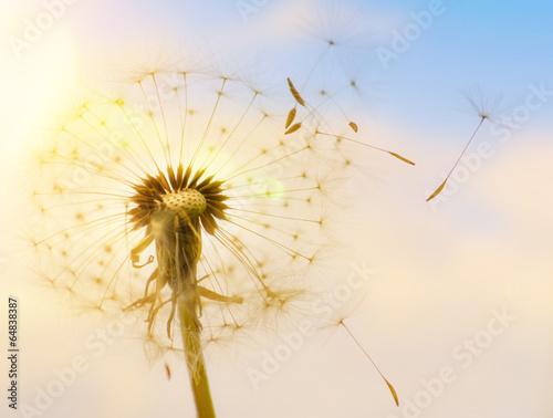 Fototapeta Dmuchawiec z latającymi nasionami w świetle słonecznym na wymiar