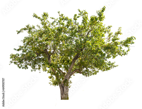 isolated apple tree with green fruits