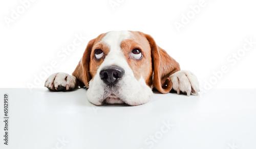 Fotografie, Obraz beagle head isolated on  white