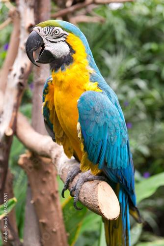 Blue-and-Yellow Macaw, Ara ararauna