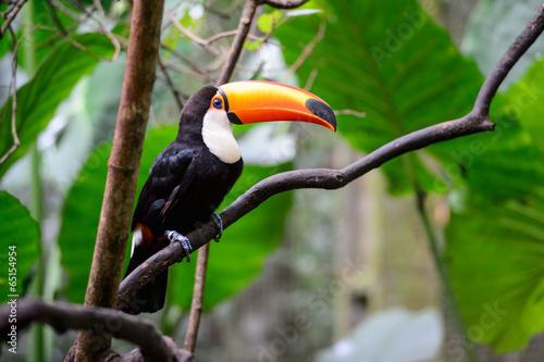 Toucan, National park Iguazu, Brazil #65154954