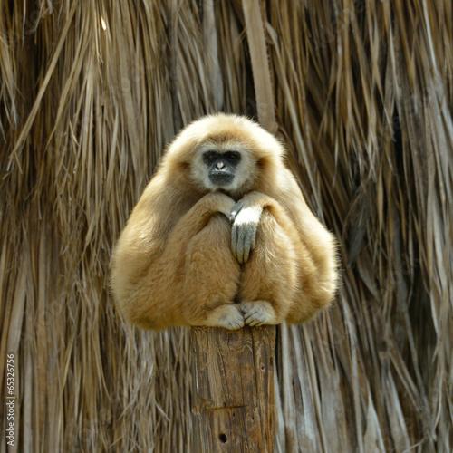 Canvastavla White Cheeked Gibbon at the zoo