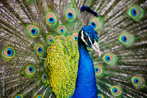 Fototapeta premium Portrait of beautiful peacock with feathers out..