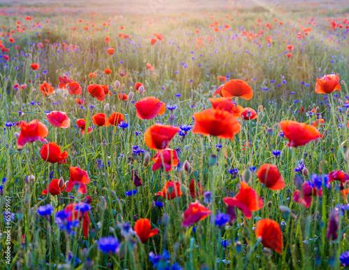 Canvas-taulu Polne maki pośród traw i kwiatów polnych