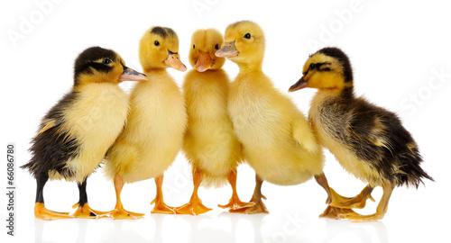 Obraz na plátne Little cute ducklings isolated on white