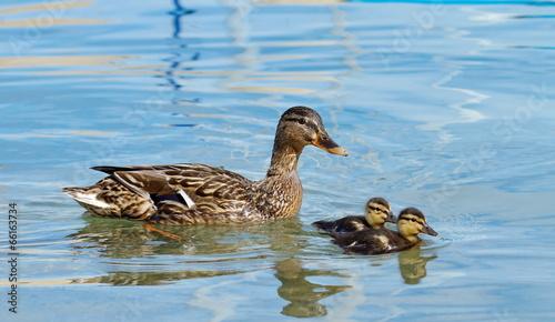 Photographie Mallard or wild duck (anas platyrhynchos) and baby