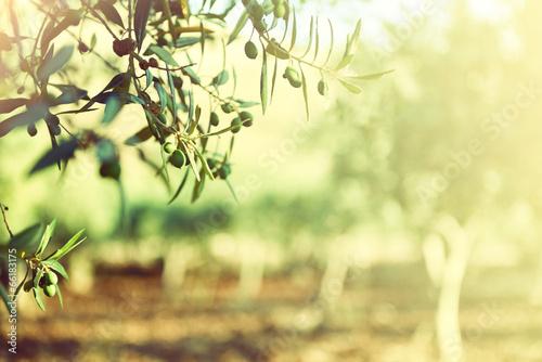 Obraz na płótnie Olive trees garden, mediterranean olive field ready for harvest.