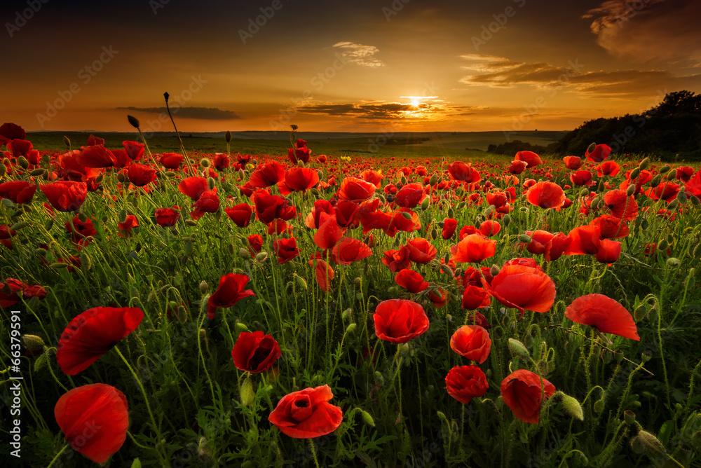 Poppy field at sunset - obrazy, fototapety, plakaty