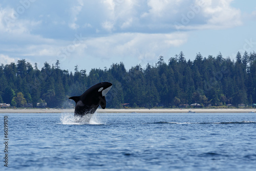 Jumping orca whale or killer whale