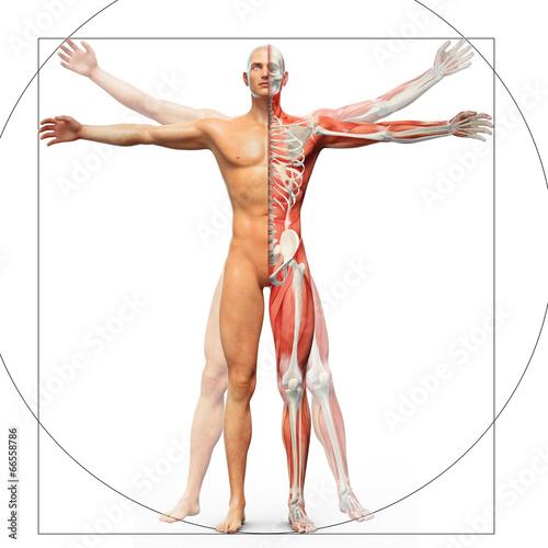 Tableau sur Toile Human anatomy displayed as the vitruvian man