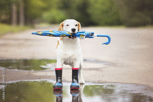 Fototapeta dog wearing rain boots and holding an umbrella
