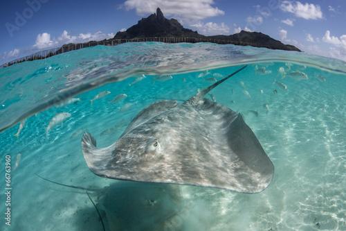 Wallpaper Mural Stingray in Bora Bora 1