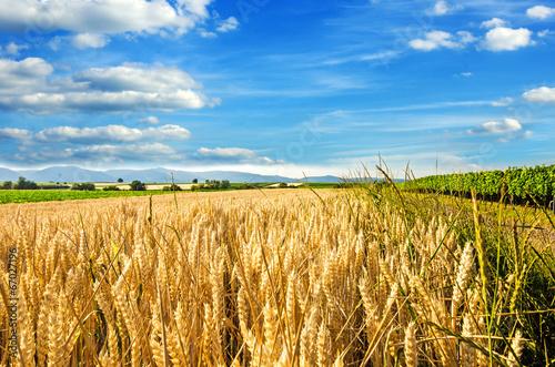 Spätsommer: Weizenfeld in der Pfalz :) Fototapete