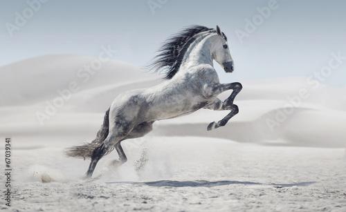 Fotografie, Obraz Picture presenting the galloping white horse