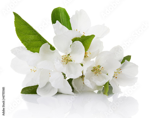 Spring blossoms - Apple tree flowers isolated on white