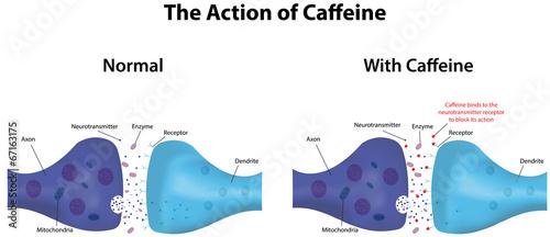 Slika na platnu The Action of Caffeine
