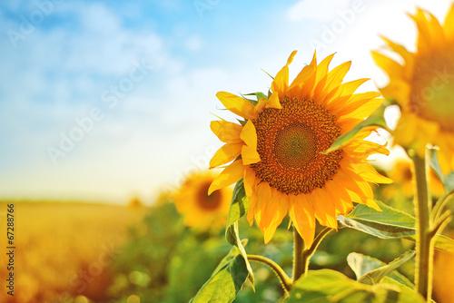 Sunflowers in the field Fototapeta