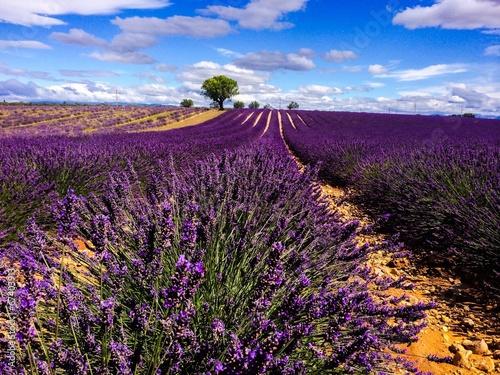 lavander in Provence France