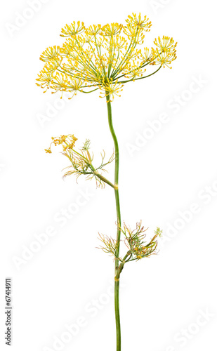 Flowering plant dill