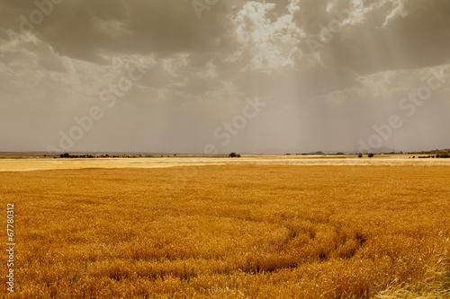 Fototapeta cornfield