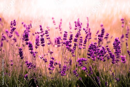 Lavendelfeld rot #67946318