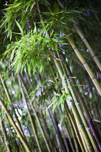 Bamboo in a japanese garden