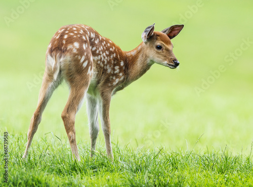 Canvas Print fallow deer- baby animal
